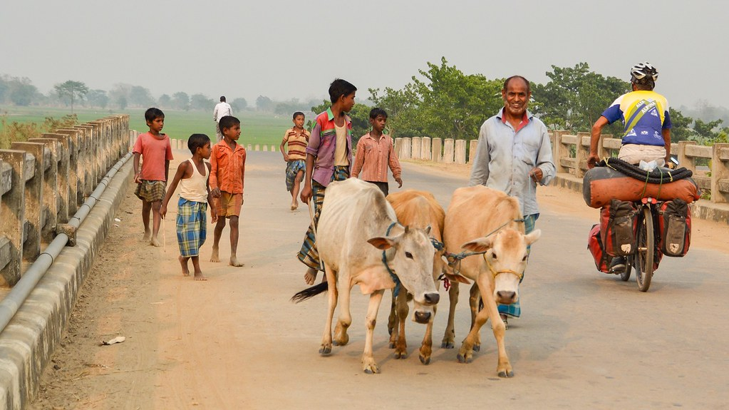 cows and cyclist in India